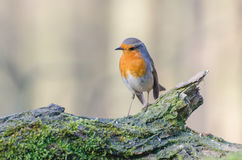 European robin. Spotted in the forest royalty free stock images