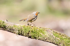 European robin. Spotted in the forest royalty free stock photography