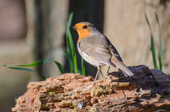 European robin. Spotted in the forest stock photos