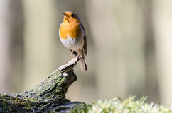 European robin. Spotted in the forest royalty free stock photo