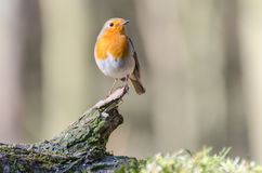 European robin. Spotted in the forest royalty free stock photos