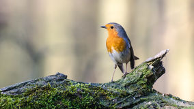European robin. Spotted in a forest in the Netherlands royalty free stock photography