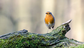 European robin. Spotted in a forest in the Netherlands royalty free stock image