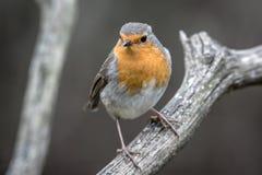 European robin Stock Photography