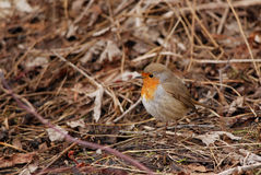 European robin. Standing on the ground in spring Royalty Free Stock Image