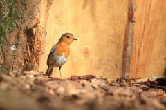 European robin Royalty Free Stock Image