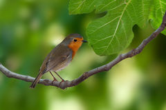 European Robin in summer. European robin perching on a fig's branch Stock Photo