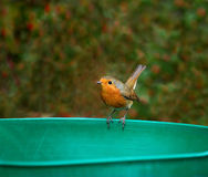 European Robin tail up Royalty Free Stock Images