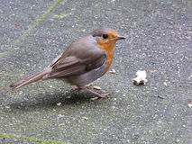 European Robin on Terrace with Fat Ball -  Erithacus rubecula Stock Images