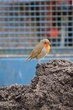 European Robin on tractor trailer. The European Robin, Known simply as the robin or robin redbreast in the British Isles Stock Image