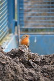 European Robin on tractor trailer. Royalty Free Stock Photography