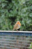 European Robin on tractor trailer. The European Robin, Known simply as the robin or robin redbreast in the British Isles Stock Images