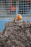 European Robin on tractor trailer. The European Robin, Known simply as the robin or robin redbreast in the British Isles Royalty Free Stock Photos