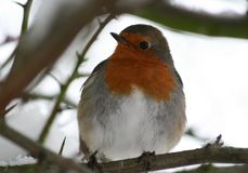 European robin in tree Royalty Free Stock Image