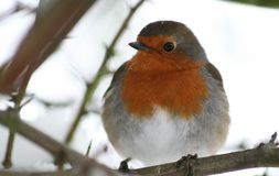 European Robin in tree Stock Images