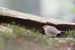 European Robin in tree Royalty Free Stock Photography