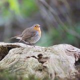 European Robin in tree Stock Photo