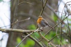 European Robin in tree Stock Image