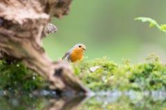 European Robin in tree Royalty Free Stock Photo
