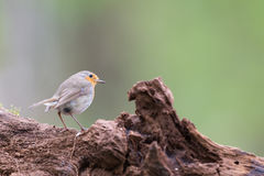 European Robin in tree Stock Photos