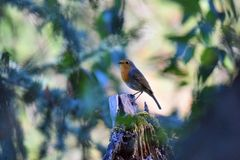 European Robin on a tree branch royalty free stock photo