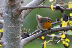 European Robin in a tree. European Robin Erithacus rubecula on autumn migration at Ottenby, Oland Island, Southern Sweden Royalty Free Stock Photo