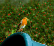 European Robin on trug Stock Photo