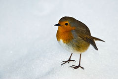 European Robin (Turdidae) Royalty Free Stock Images
