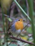 European robin on a twig Stock Photo