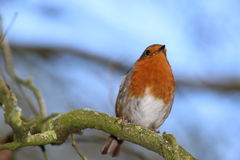 European robin. The UK`s favourite bird - with its bright red breast it is familar throughout the year . Males and females look identical, and young birds have Royalty Free Stock Photos