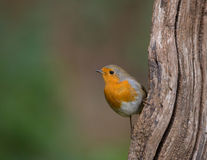 European Robin on vertical log stock photos