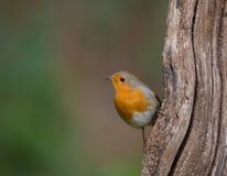 European Robin on vertical log Stock Photos