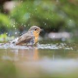 European Robin in water Royalty Free Stock Image