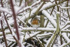 European robin in winter scenery. Wildlife Uk.European robin looking in camera while perching on branch covered with snow in british woodland, in winter royalty free stock photos