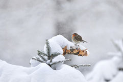 European robin in winter royalty free stock photo
