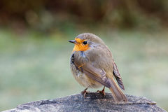 European robin. Young European robin (Erithacus rubecula) on a tree stump with frosty lawn in the background Stock Photo