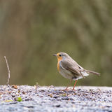 European Robinat the ground Stock Images