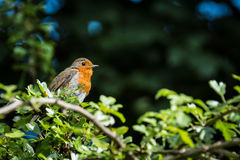 European Robins. A small European Robins standing on a tree branch Royalty Free Stock Photo