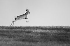 European roe buck running in the meadow. Black and white, Slovakia Stock Image