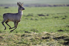 European Roe deer  Royalty Free Stock Photos