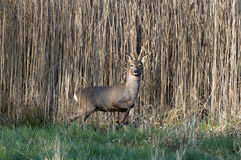 European Roe Deer Royalty Free Stock Image