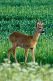 European Roe Deer Stock Photos