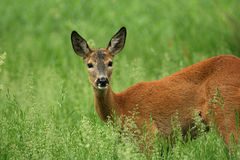 European roe deer Royalty Free Stock Photos