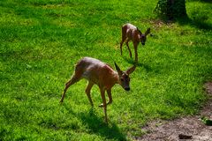 European roe deer Royalty Free Stock Photo