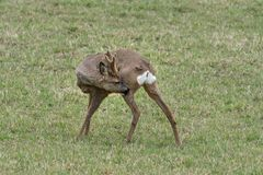 European Roe deer buck itching royalty free stock photography