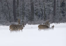 European Roe Deer (Capreolus capreolus). Bevy of roes in mist on snow Royalty Free Stock Photography