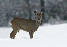 European Roe Deer (Capreolus capreolus). European Roe Deer on snow royalty free stock photography
