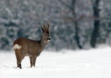European Roe Deer (Capreolus capreolus). European Roe Deer on snow stock photo