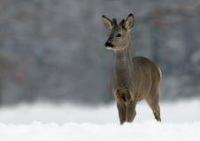 European Roe Deer (Capreolus capreolus). European Roe Deer on snow royalty free stock photos