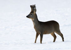 European Roe Deer (Capreolus capreolus) Royalty Free Stock Photos